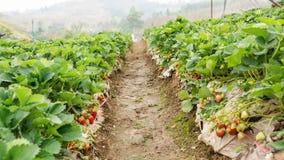 Élevage de fraises Photo libre de droits