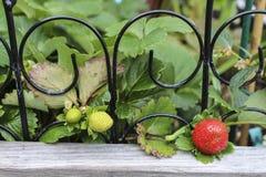 Élevage de fraises Images libres de droits