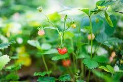 Élevage de fraisiers communs Image libre de droits