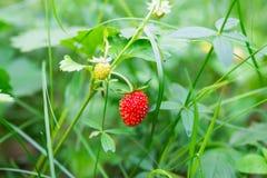 Élevage de fraisiers communs Photos stock