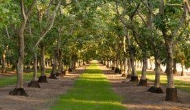 Élevage de fruit au goût âpre aigre de verger de chaux sur des arbres Photos stock