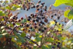Élevage de fruit de Blackberry sur la branche Images stock