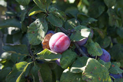 Élevage de fruit bleu de prune sur une branche Photo stock
