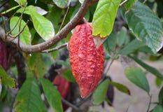 Élevage de fruit de cacao sur l'arbre Images libres de droits