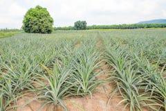 Élevage de fruit d'ananas dans une ferme Photos libres de droits
