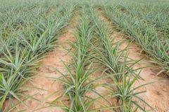 Élevage de fruit d'ananas dans une ferme Photo libre de droits