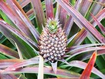 Élevage de fruit d'ananas de bébé sur une usine Image stock
