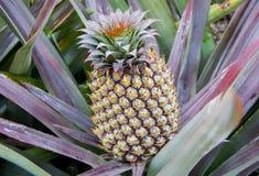 Élevage de fruit d'ananas sur une usine Images stock