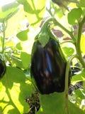 Élevage de fruit d'aubergine dans le jardin Photographie stock libre de droits