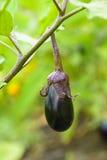 Élevage de fruit d'aubergine dans le jardin en automne Image libre de droits