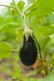 Élevage de fruit d'aubergine dans le jardin en automne Images libres de droits