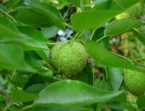 Élevage de fruit d'orange d'Osage sur l'arbre Photographie stock libre de droits