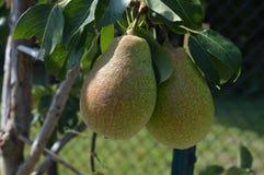 Élevage de fruit dans le verger Photo stock