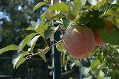 Élevage de fruit dans le verger Photographie stock
