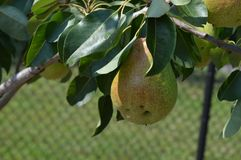 Élevage de fruit dans le verger Photos libres de droits