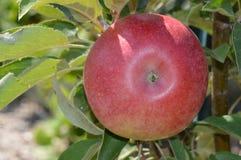 Élevage de fruit dans le verger Images stock