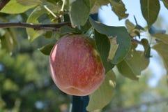 Élevage de fruit dans le verger Photographie stock libre de droits