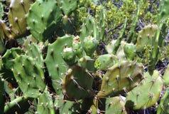 Élevage de fruit de cactus sur une usine Image libre de droits