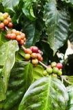 Élevage de fruit de café dans la ferme agricole Image libre de droits
