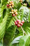 Élevage de fruit de café dans la ferme agricole Photos libres de droits