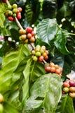 Élevage de fruit de café dans la ferme agricole Image stock