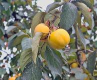 Élevage de fruit de kaki sur un arbre Image stock