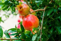 Élevage de fruit de grenade sur une branche verte Photographie stock libre de droits