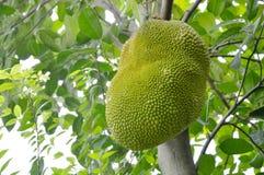 Élevage de fruit de Jack pendant de la branche sur l'arbre dans la ferme Image libre de droits