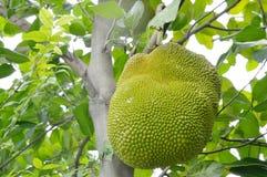 Élevage de fruit de Jack pendant de la branche sur l'arbre dans la ferme Photo libre de droits