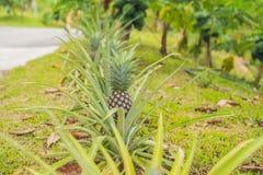 Élevage de fruit mûr tropical d'ananas dans le jardin Photographie stock