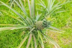 Élevage de fruit mûr tropical d'ananas dans le jardin Image stock