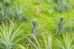 Élevage de fruit mûr tropical d'ananas dans le jardin Photographie stock libre de droits