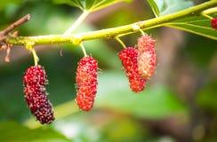Élevage de fruit de mûre dans le jardin avec la belle lumière du soleil, doux et frais Photos stock
