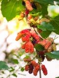 Élevage de fruit de mûre dans le jardin, doux et frais Image libre de droits