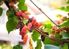 Élevage de fruit de mûre dans le jardin, doux et frais Photos libres de droits