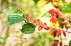 Élevage de fruit de mûre dans le jardin, doux et frais Image stock