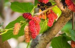 Élevage de fruit de mûre dans le jardin, doux et frais Images libres de droits