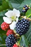 Élevage de fruit mûr de mûre Photographie stock libre de droits