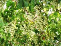 Élevage de fruit mûr frais de raisins en nature Photographie stock libre de droits