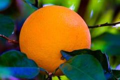 Élevage de fruit orange dans un arbre Photographie stock libre de droits