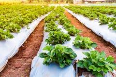 Élevage de fruit organique mûr et non mûr de fraise sur la plantation Photo libre de droits