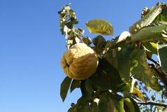 Élevage de fruit tropical de coing sur une branche Images libres de droits