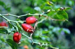 Élevage de fruits de cynorrhodon au soleil Photographie stock libre de droits