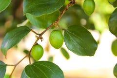 Élevage de fruits de jujube sur ses arbres Photos stock