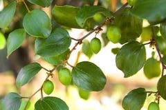 Élevage de fruits de jujube sur ses arbres Image stock