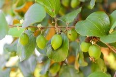Élevage de fruits de jujube sur ses arbres Images libres de droits