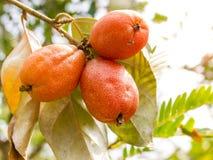 Élevage de fruits de latifolia d'Elaeagnus sur une branche Image stock