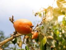 Élevage de fruits de latifolia d'Elaeagnus sur une branche Photo libre de droits