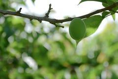 Élevage de fruits doux vert de pêche sur un pêcher Photos libres de droits