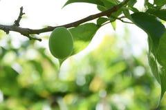 Élevage de fruits doux vert de pêche sur un pêcher Photographie stock